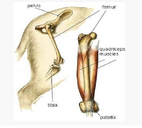 Shiba Inu Dog after knee surgery