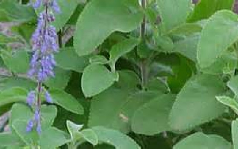 Understand the advantages of Forskolin before Purchasing It