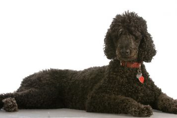 A Detailed Rundown of Poodles: Etymology, Fun Facts, Personality Traits, and Care Tips